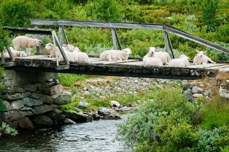 Bridge and sheep